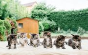 6 Maine Coon