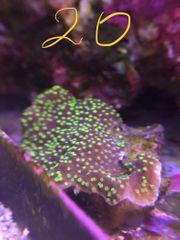 Zoa euphyllia scolymia Meerwasser Korallen