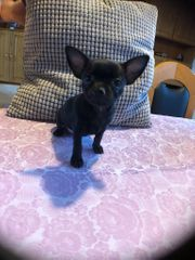 Chihuahua Welpen Mini Kurzhaarig suchen