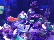 Sattel-Spitzkopfkugelfisch