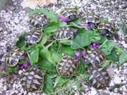 Landschildkröten Thh + Thb +