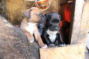 Dogo Canario - Bullmastiff Mischlinge in