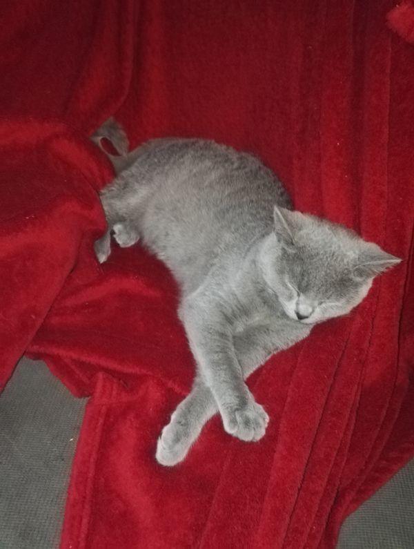 BKH Kitten 1x » Katzen