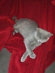BKH Kitten 1x