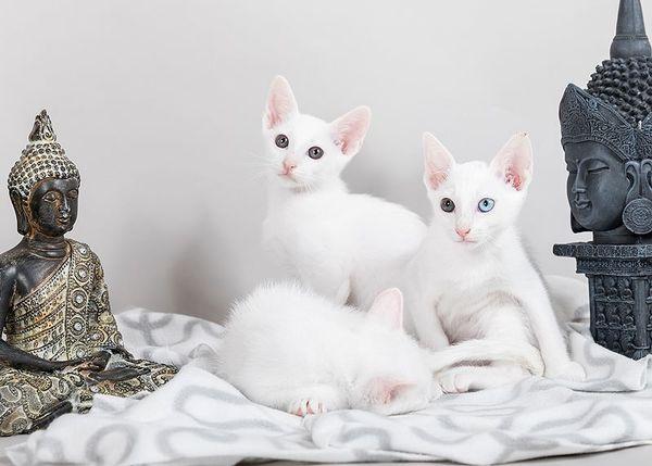 Khao Manee Thaikatze » Katzen