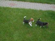 Süsse, reinrassige Beagle