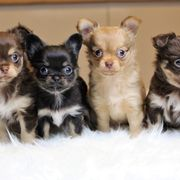 Typvolle Chihuahuahündin rot aus seriöser