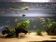 Dimidiochromis compressiceps Malawibuntbarsche