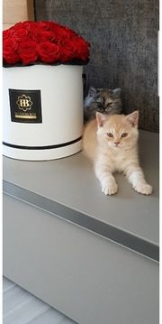 Süße BKH Kitten Kätzchen mit