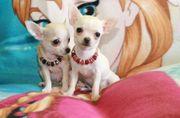 Mini Chihuahua Babys