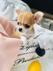 Süsse Chihuahuawelpen Reinrassig Weibchen 8