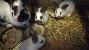 Hase & Kaninchen