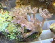 Meerwasser - Röhrenkoralle - Clavularia