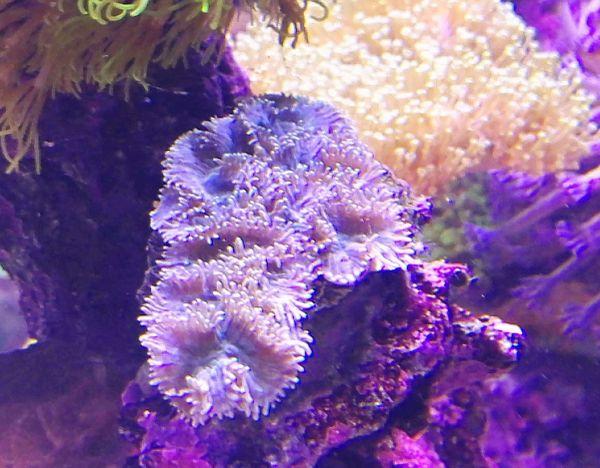 Korallen Meerwasser Ableger » Fische, Aquaristik