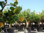 Saisonstart Anfang März Zitronenbaum Orangenbaum