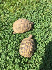 Landschildkröten THB