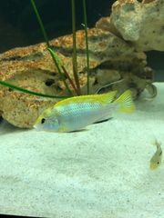 5x Labidochromis sp perlmutt ca