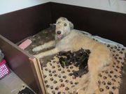 Irish Wolfhound Welpen von BiGi