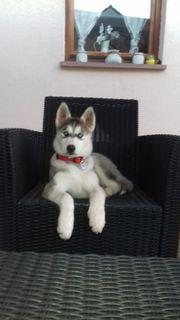 Huskywelpe,18 Wochen,