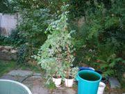 2 grün-weiss-blättrige ficus benjamini