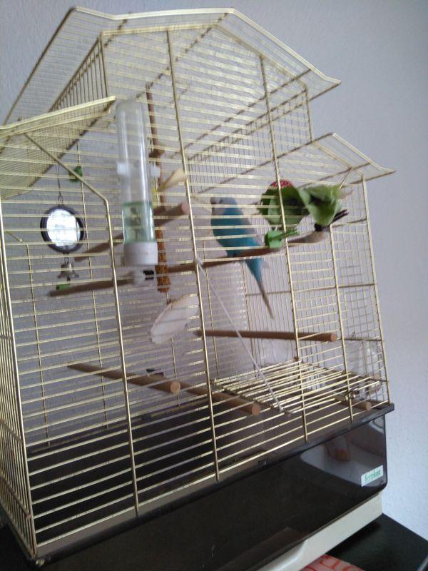 Wellensittich Nicki sucht » Vögel