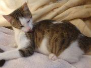 Verschmuste BKH EKH Katzenbabies wünschen