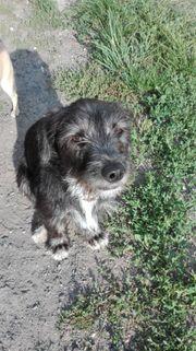 Dackel - Terrier mix