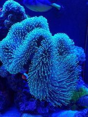 Meerwasser Korallen Sarcophyton