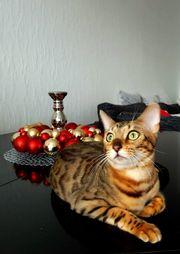 Wunderschöne reinrassige Bengal Kitten mit