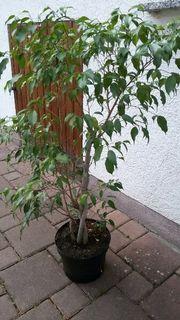 Ficus Benjamini Baum