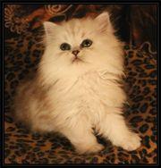 Perser Kitten mit