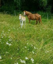 Pony Mix-Stute sucht neues Zuhause