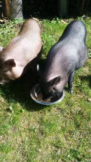 Mini Schweine