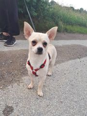 Bobi, junger Chihuahua
