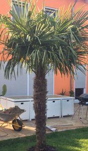 Schöne Hanfpalme Trachycarpus