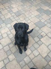 An Labrador Liebhaber