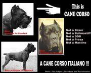 Hund Cane Corso