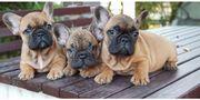 Reinrassige Französische Bulldoggen