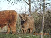 Highland Cattle, Schottische