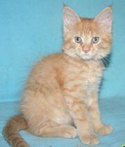 Maine Coon Kittenkater