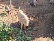 Minischwein Paar