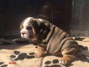 Englische Bulldoge Welpen