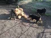Airedale-Terrier-Welpen Hündin