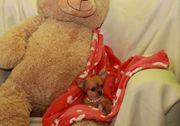 Teacup Chihuahua Welpen Mini Mädchen