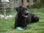 Labrador Hündin mit
