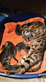 7 Bengal Kitten