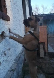 Boxer Mix 14 Monate Jung