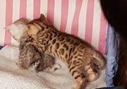 Wohnzimmerleoparden, Bengal Kitten,