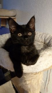 Main Coon Katze Kitten