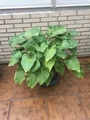 Große Calla Pflanze zu verkaufen